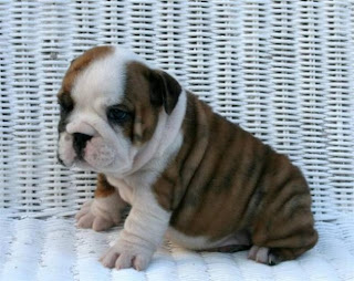 Bulldog Puppies Picture