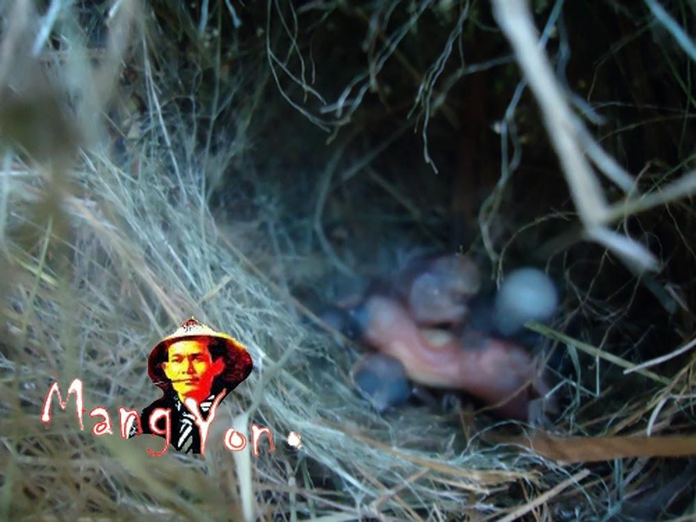 Anak Burung Pipit Baru netas dari telur