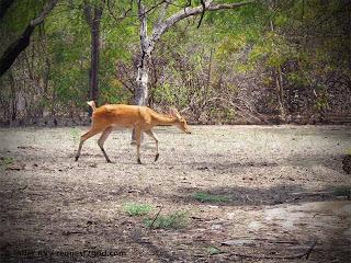 Female Barasingha or Swamp Deer on a walk