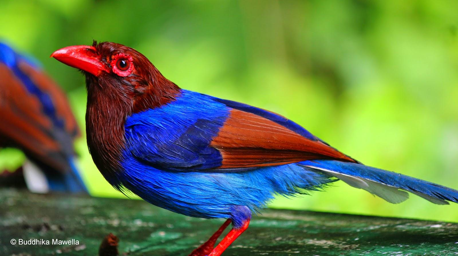 Sri Lanka Blue Magpie - Nature Travel Birding