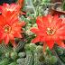 Cum infloresc cactusii . Video in Timelapse !