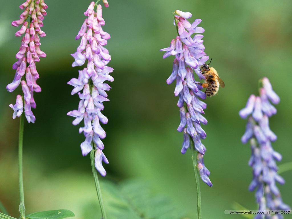 http://4.bp.blogspot.com/-gJNc7MofTPA/T-xkSbeJb-I/AAAAAAAADXY/9-xRUeg9rBc/s1600/Bee+wallpapers+4.jpg