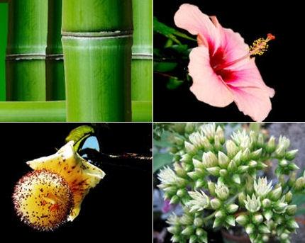 Les plantes exotiques flore de l le de la r union for Plantes exotiques