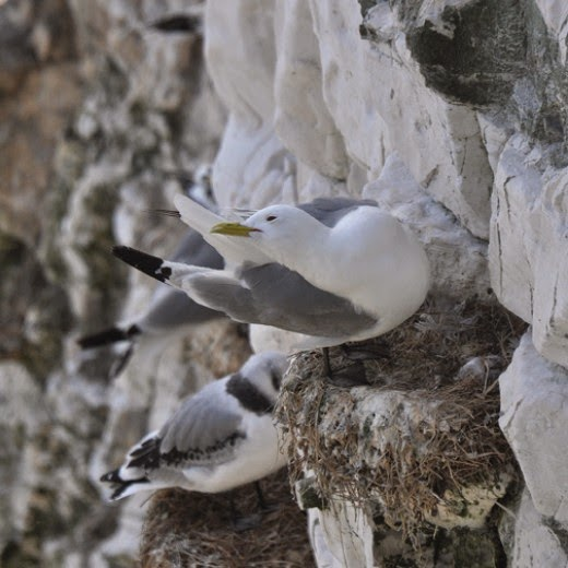 adult kittiwake on cliff