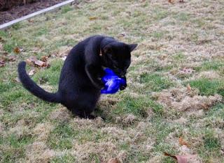 @Boomiethecat I iz gettin reddy for dat blue jay #pawpawty!