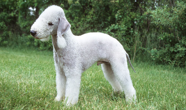 Bedlington Terrier, dog, Dogs, pet, pets,