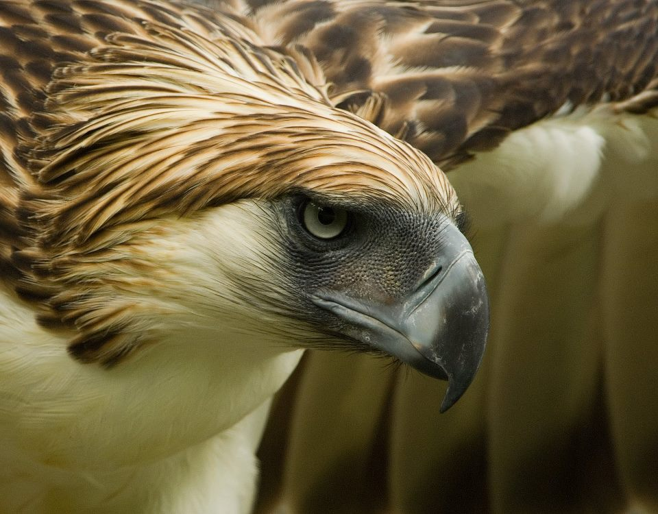 Philippine Eagle Pictures and Wallpapers | Animals Library