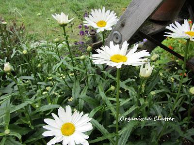 Cottage Garden - Shasta Daisy