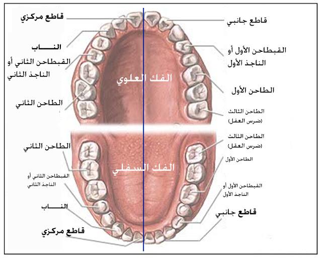 وظائف الأسنان
