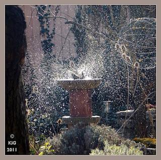 Amsel im Vogelbad, Mitte Februar