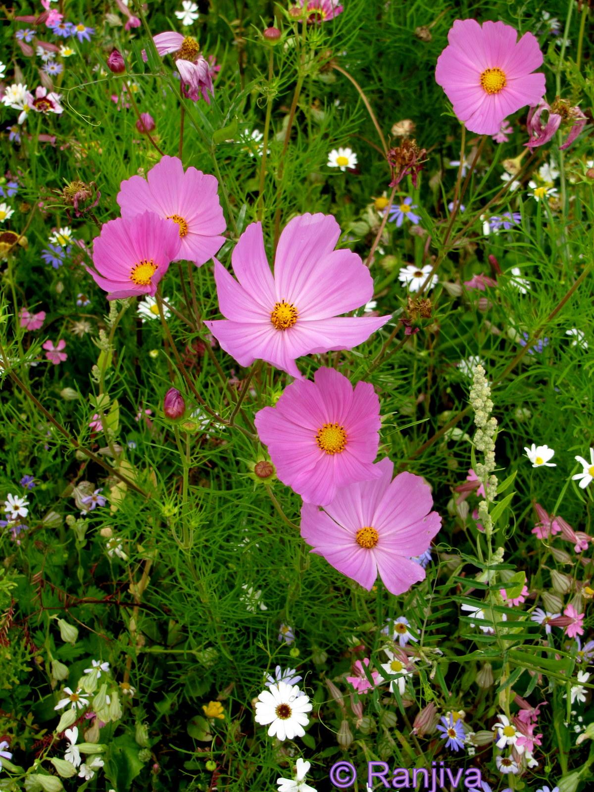 Harmonie des fleurs de prairie paysages et fleurs au fil for Fleurs et fleurs