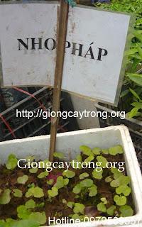 nho-phap-giong