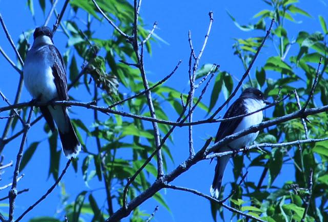 two eastern kingbirds in sun
