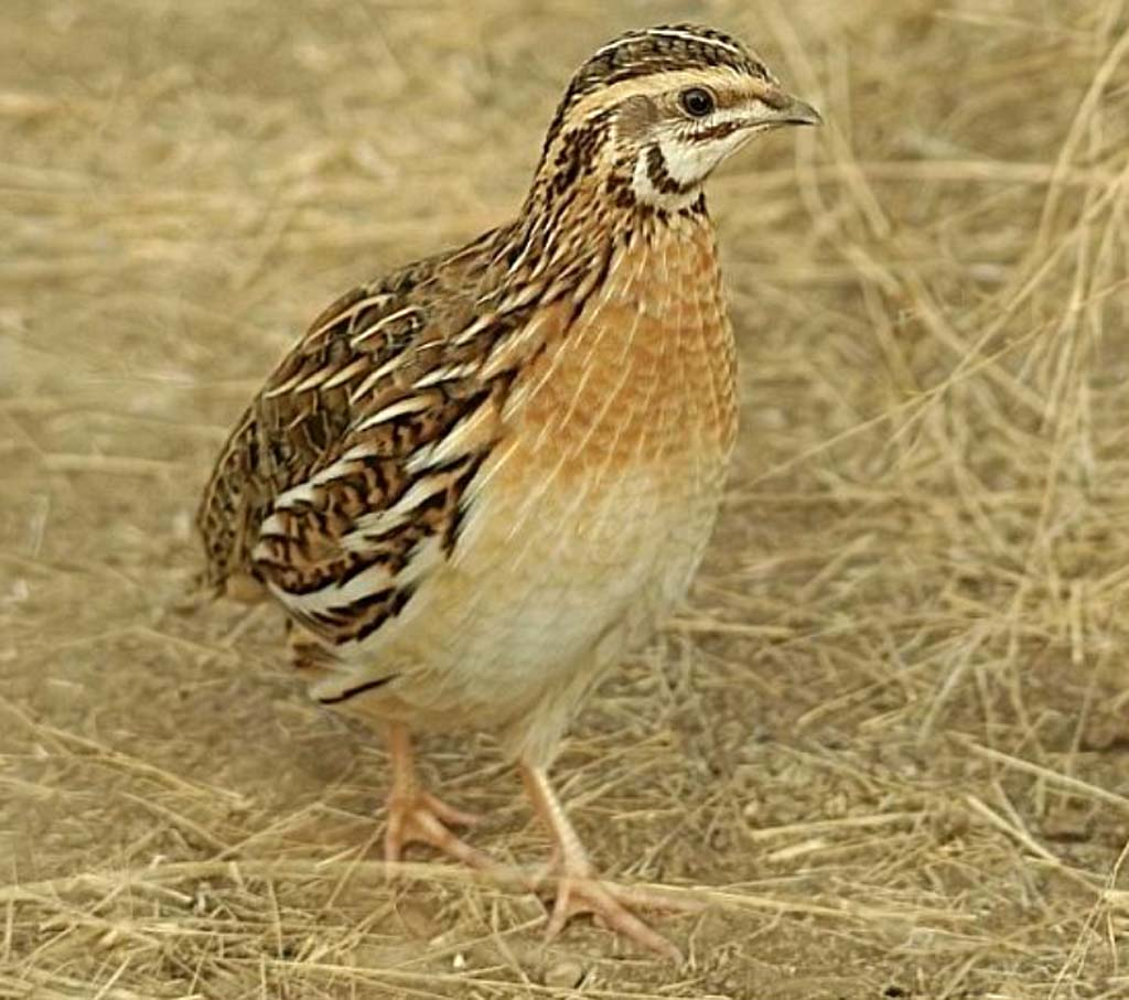 Benefits of Quail Farming  Quail Bird Male