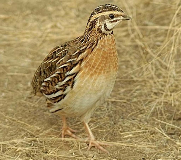 zviuta, zvihuta, quail farming, quails, quail farming business, commercial quail farming, commercial quail farming business, what is quail farming, quail picture, profitable quail farming