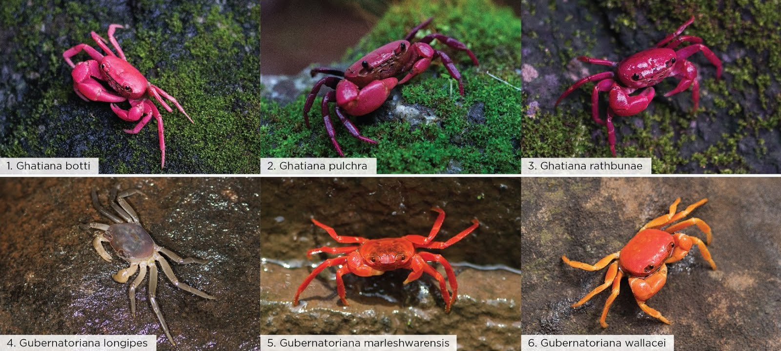 taxonomy of different crab species Species diversity, 2005, 10, 171-184 taxonomy of the terrestrial crab geothelphusa tenuimanus (crustacea: decapoda: brachyura therefore, all the populations on okinawa island are here regarded as conspecific habitats and morphological adaptations of the species are also discussed.