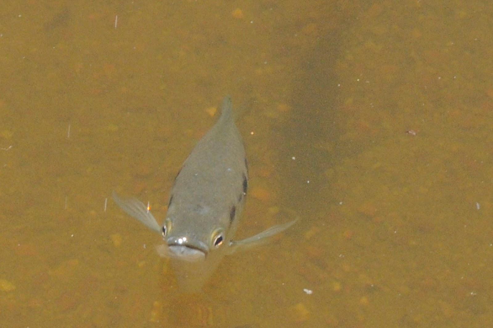 Archer fish