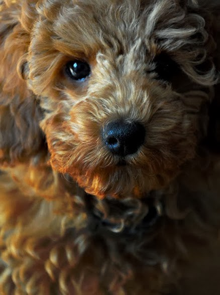 beauty shot of a red poodle puppy