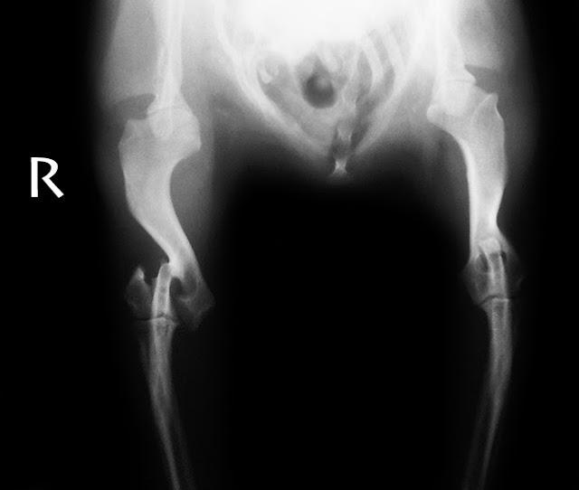 fractura de humero en canino