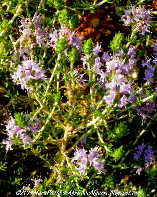 close-up of wild thyme