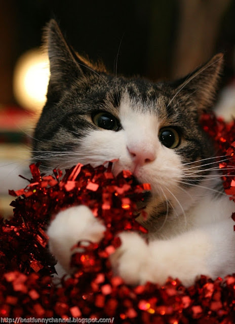Funny Christmas cat.
