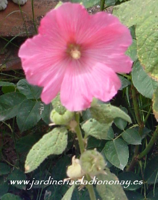 Jardineria eladio nonay malvarrosa jardiner a eladio nonay for Malvarrosa planta