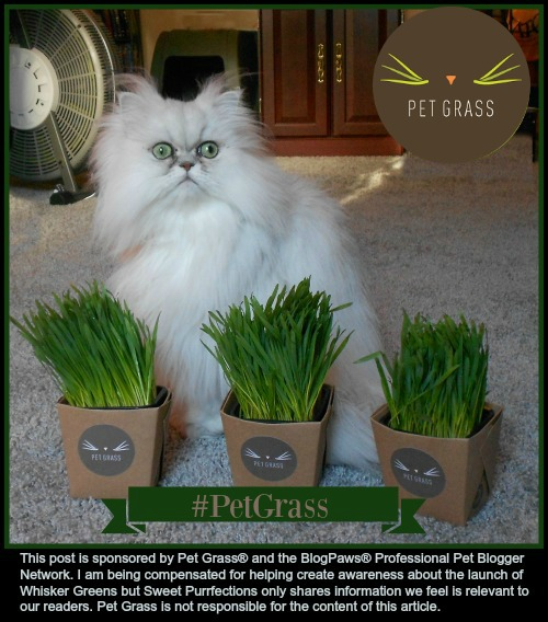 Brulee sitting behind three containers of Whisker Greens #PetGrass
