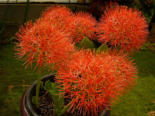 Blood Lily or Scarlet Starburst in Bali Garden
