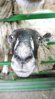 Sheep Funny Staring
