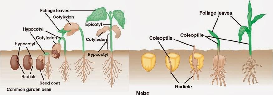 Crecimiento y desarrollo vegetal.Conceptos | Apuntes de Fisiología ...