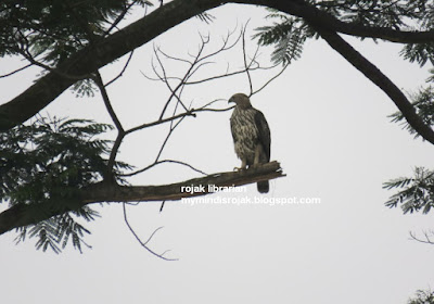 Changeable Hawk (pale morph) in Bukit Brown