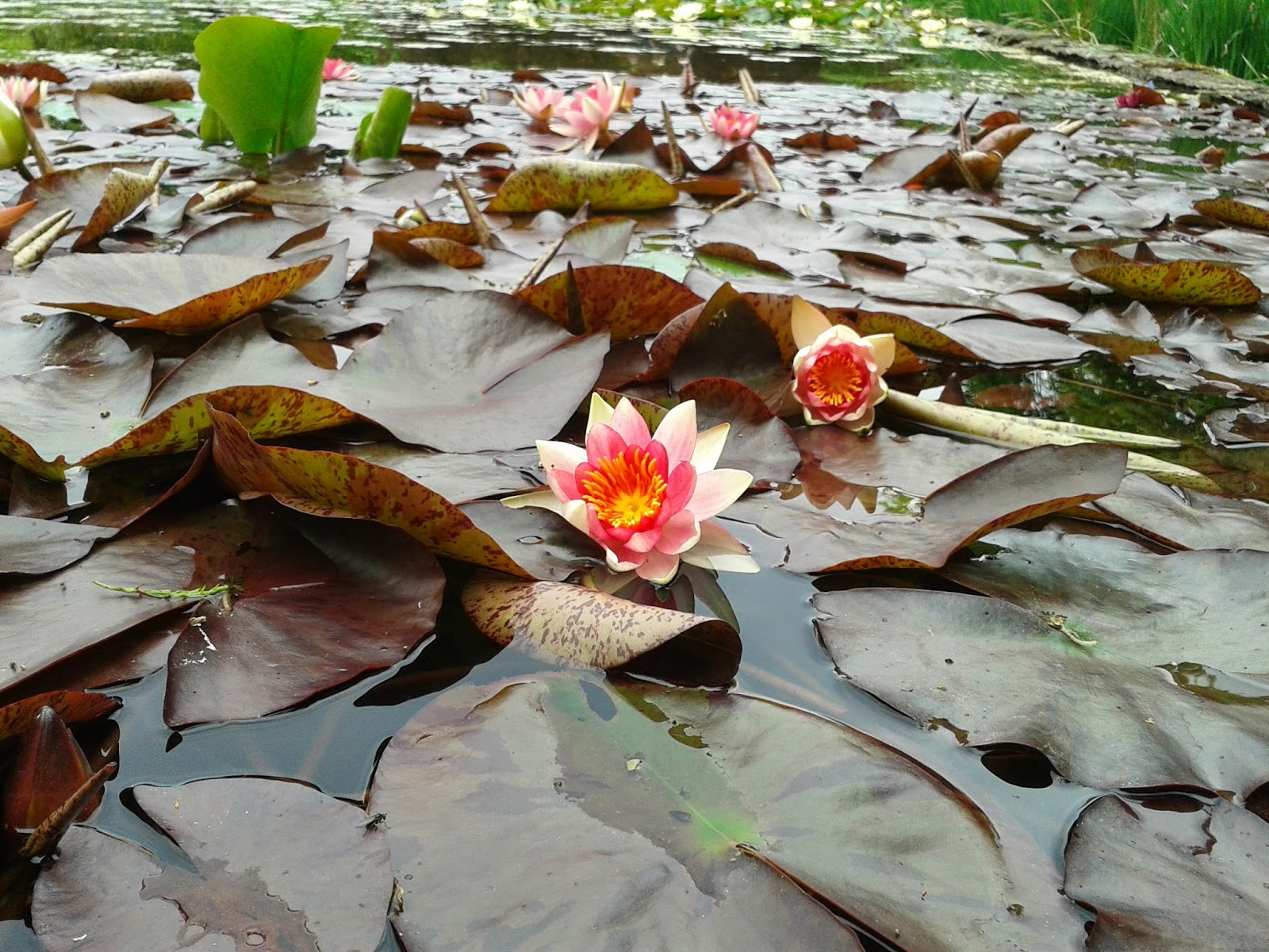 Water Lilies at The Courts {National Trust} // 76sunflowers