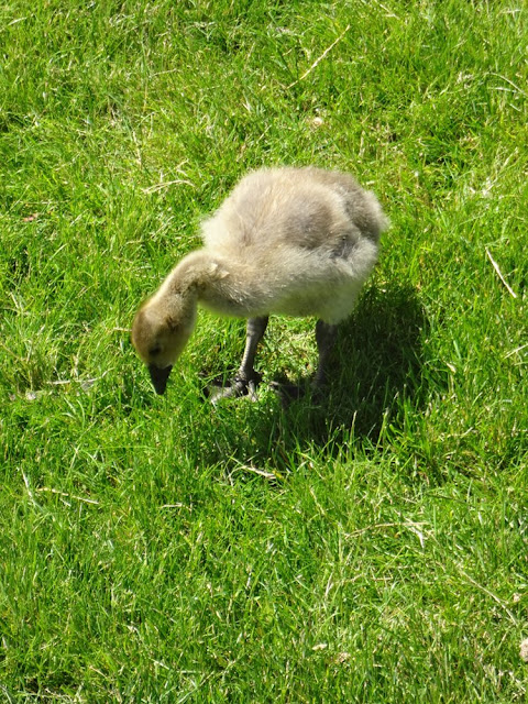 gosling vancouver