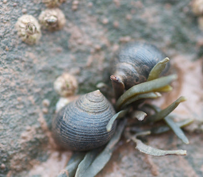 Common Periwinkle (Littorina littorea)