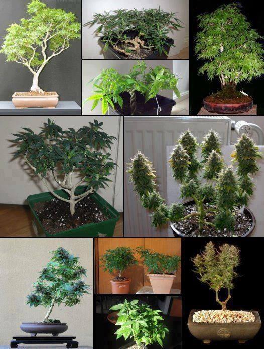 cultivo de maconha | Es posible tener un bonsai cannábico en casa.