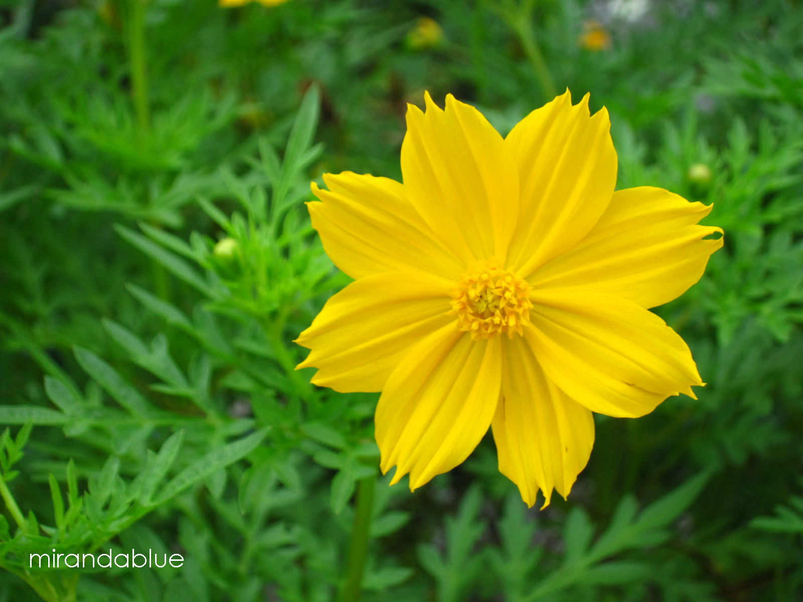 Live in the moment yellow cosmos yellow cosmos mightylinksfo