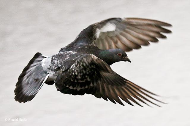 Tierfotos, Vögel, Taube im Flug