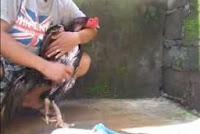 [Video] Langkah-langkah Memandikan Ayam Bangkok