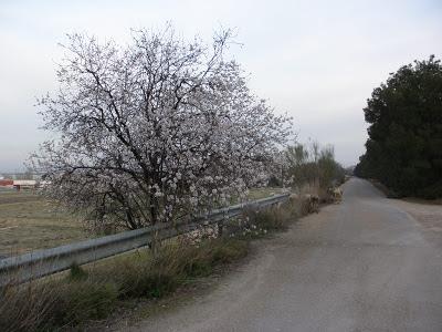 Almendro en flor ovejas Zaragoza