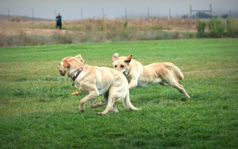 closer shot of the two labs running, duma is still checking back to see her owner