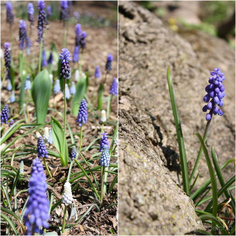 purple muscari via Meet Me in Philadelphia