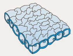 Struktur jaringan epidermis