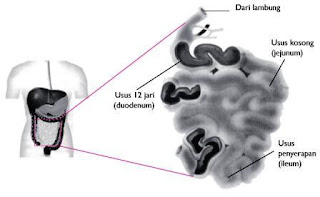 Usus+Halus+Organ+Pencernaan Organ Organ Pencernaan