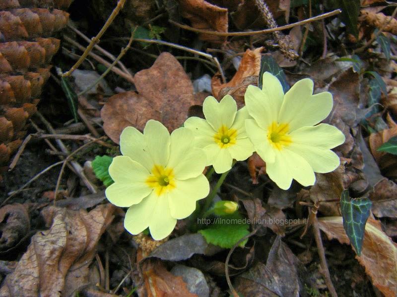 In nome dei fiori primule fiori di primavera giallo chiaro for Primule immagini