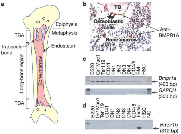 primary lymphoid organs