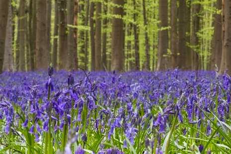 Foto Hutan Biru Belgia Fenomena Alam Aneh Bin Ajaib