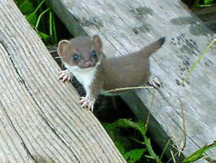 Baby short tailed weasel - photo#1