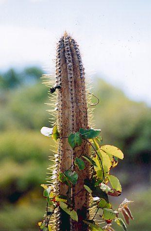 Dragonotopa La leyenda del cactus afectivo