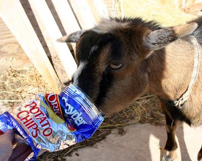 Obligatory goat pic