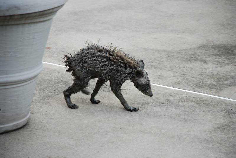 Bigfoot Evidence: Photo of the day: Chupacabra or ... Raccoon With Mange